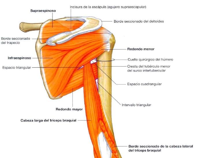 Imagen Destacada - Exploración osteomuscular y articular del hombro